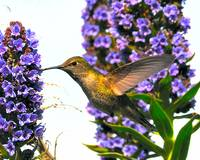 Humming Bird SanFrancisco # 42