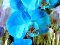A Fine Blue Orchid Dream 3