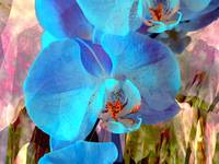 Blue Orchid Exotic 3