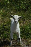Young Goat on a Farm