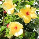 """Yellow Hibiscus Flowers"" by rhamm"