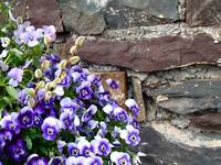 Springtime Purple Pansies At The Stone Wall