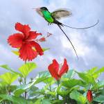 """Red-Billed Streamertail Hummingbird and Hibiscus"" by spadecaller"