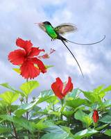 Red-Billed Streamertail Hummingbird and Hibiscus