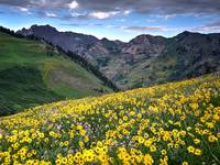 Wildflowers, Albion Basin