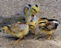 Four Chicks on the beach #74