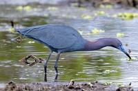 Little Blue Heron #88