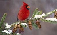 Red Cardinal In A Pine Tree