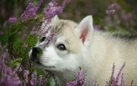 Husky Puppy and The Lilac Flowers