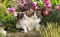 Kittens and Pink Tulips