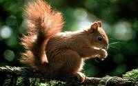 Fluffy Brown Squirrel