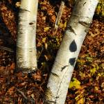 """Two Birch Trees"" by LukeMoore"