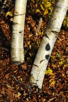 Two Birch Trees