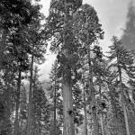 """""""Giant Sequoias"""" by PaulCoco"""