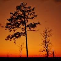 Sunset Tree Silhouettes Art Prints & Posters by LD Franklin