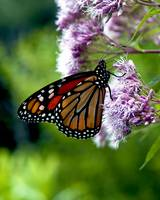 Monarch Butterfly Joe Pye Weed #323