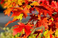 Seasonal Blush :Maple Leaves    Boulder Co #205