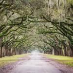 """""""Oak Tree Lane"""" by cyorkphoto"""