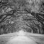 """""""Spanish Moss Trees Black and White"""" by cyorkphoto"""