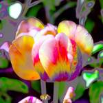 """Rainbow Tulip"" by donwright"