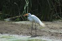 Great Egret on a Shoreline