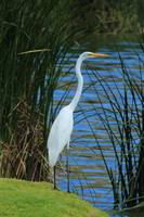 Great Egret on Shore