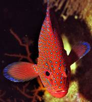 Jewel Grouper Frontal