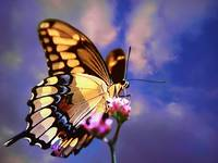 Back  Swallowtail  Butterfly high in the sky