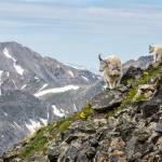 """Mountain Goats"" by mattsellars"