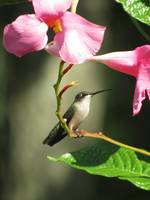 Hummingbird on a vine