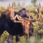 """Bull Moose"" by mattsellars"