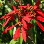 """Poinsettia Flower on a Bush"" by rhamm"