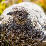 """Ptarmigan"" by mattsellars"