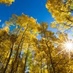 """Yellow Aspens"" by mattsellars"