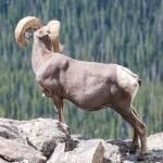 """Bighorn Sheep"" by mattsellars"