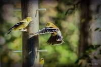 Active Finch