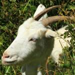 """Face of a White Goat"" by rhamm"