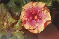 Orange and Yellow tropica Hibiscus