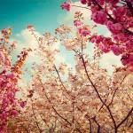 """""""Sakura Cherry Blossom"""" by taylansoyturk"""