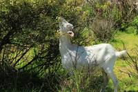 Goat Grazing Among Thorn Bushes