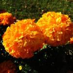 """""""Gilded Marigolds"""" by lyndazurn"""