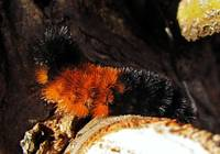 Attentive Woolly Bear