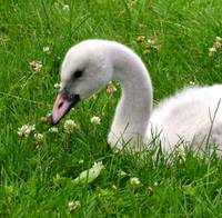 Sonnet for a Cygnet