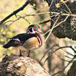 """Male Wood Duck"" by praslicka"