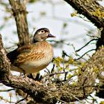 """Female Wood Duck"" by praslicka"