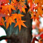 """Sweet Gum Fall"" by praslicka"