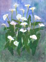 Arum Lilies I 2014