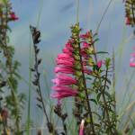 """Pink Wildflowers at Lake Cuicocha"" by rhamm"