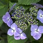 """Hydrangea macrophylla"