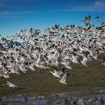 """SnowGeese-4334"" by CaptureLife"